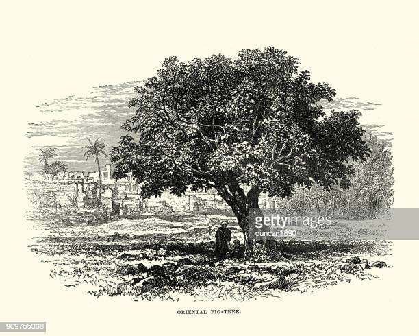 fig tree in the holy land, 19th century - fig tree stock illustrations