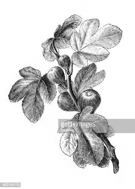figs | antique design illustrations - fig tree stock illustrations