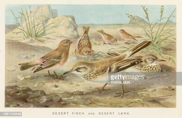ilustrações, clipart, desenhos animados e ícones de chromolithograph de pássaros finch e cotovia 1896 - zoologia
