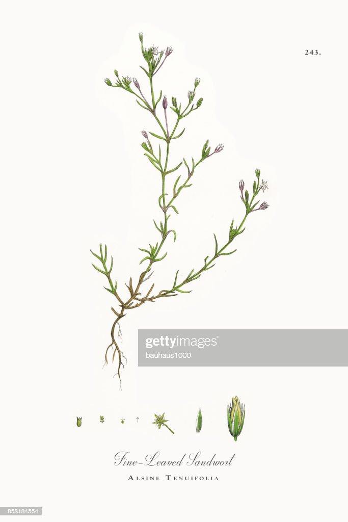 Fine-Leaved Sandwort, Alsine Tenuifolia, Victorian Botanical Illustration, 1863 : stock illustration