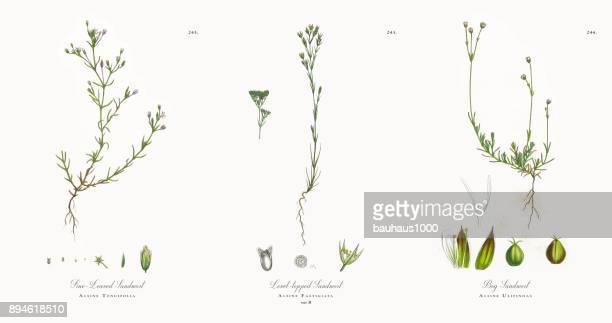 ilustrações, clipart, desenhos animados e ícones de belas folhas sandwort, alsine tenuifolia, ilustração botânica vitoriana, 1863 - chickweed