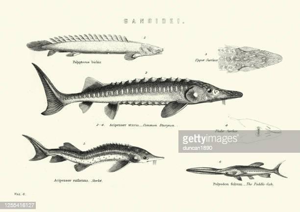 fish, common sturgeon, sterlet (acipenser ruthenus), paddlefish - sturgeon fish stock illustrations