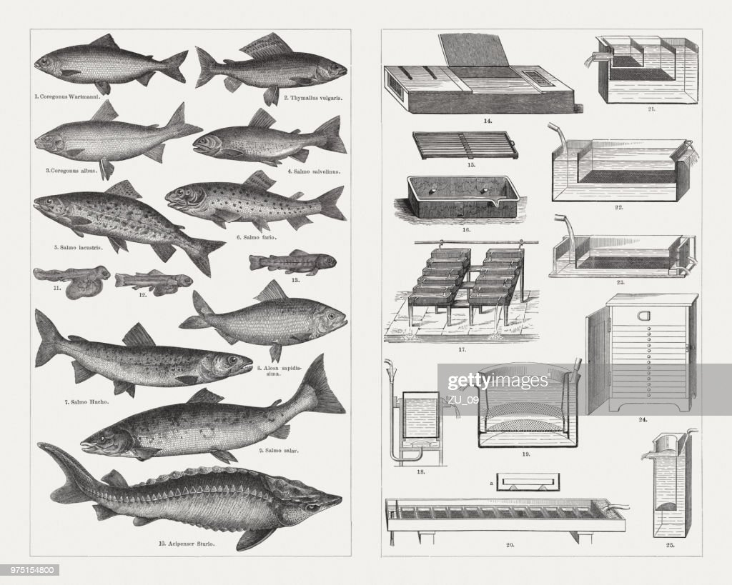 Fish Farming Species And Breeding Equipment Wood Engravings ...