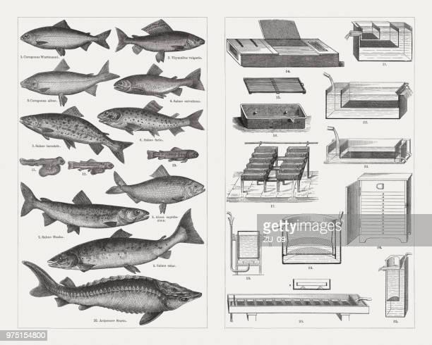 fish farming, species and breeding equipment, wood engravings, published 1897 - sturgeon fish stock illustrations