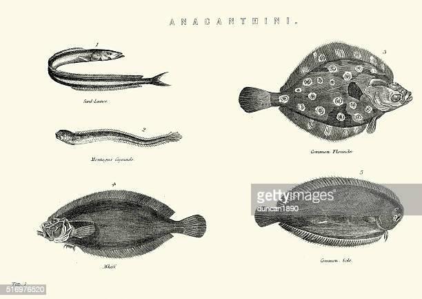 Fish - Flounder, Sole, Sand lance, Gymnele, Whiff