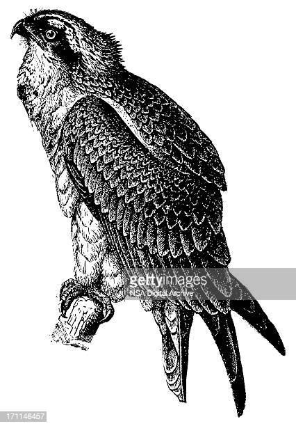 fish hawk | antique bird illustrations - hawk bird stock illustrations, clip art, cartoons, & icons