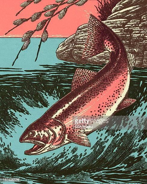 illustrations, cliparts, dessins animés et icônes de poisson - saumon