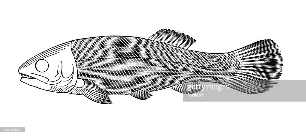 Fish Megalurus : stock illustration