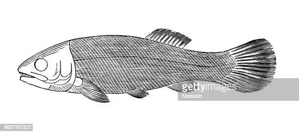 fish megalurus - encyclopaedia stock illustrations, clip art, cartoons, & icons