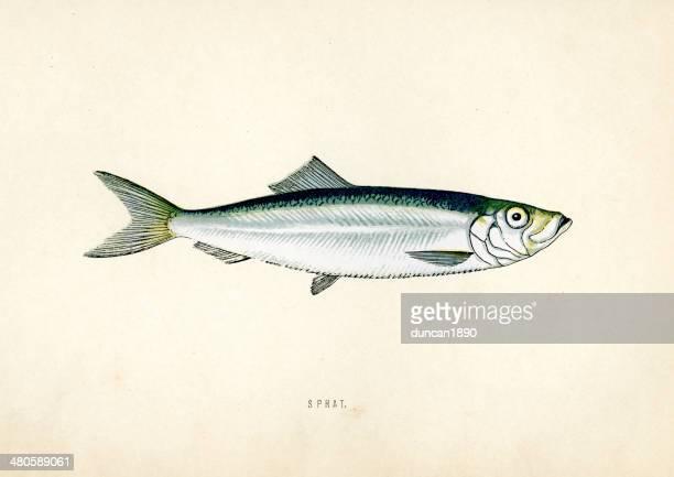 Fish - Sprat