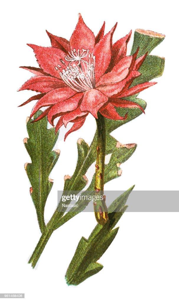 Fishbone cactus (Phyllocactus anguliger) : stock illustration