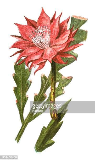 Fishbone cactus (Phyllocactus anguliger)