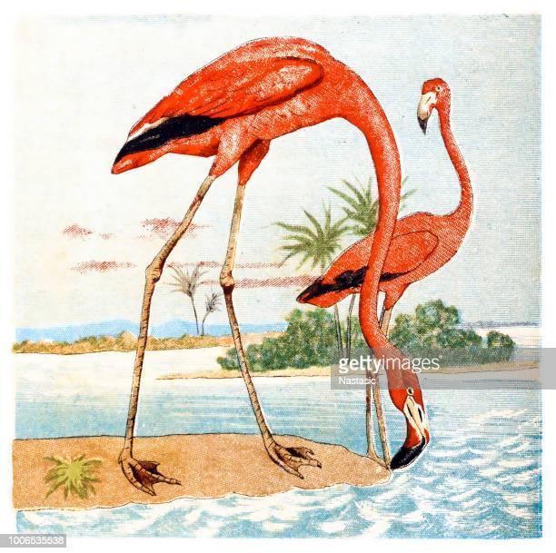 ilustrações de stock, clip art, desenhos animados e ícones de flamingos - flamingo