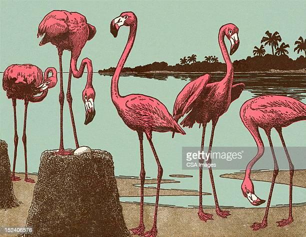ilustrações de stock, clip art, desenhos animados e ícones de foenicopterídeos - flamingo