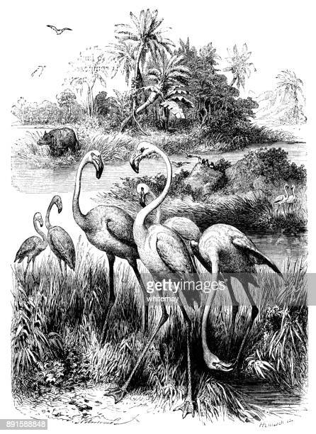 Flamingos (Victorian engraving)