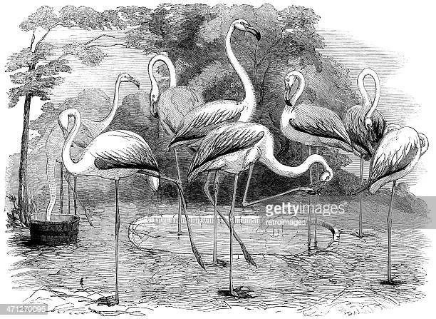 flamingos in the zoological society's gardens, illustrated london news - flamingo stock illustrations, clip art, cartoons, & icons