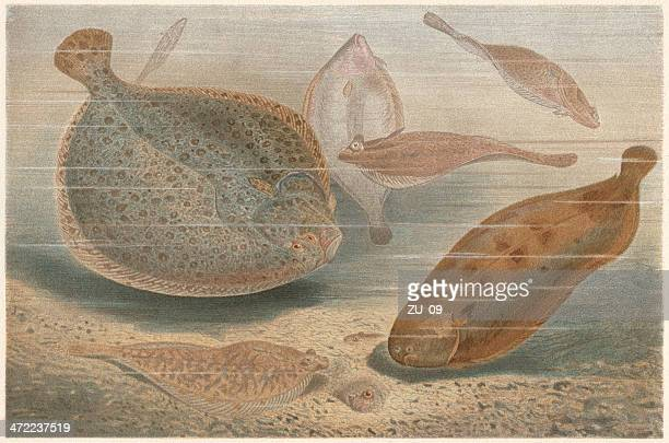 Flatfishes (Pleuronectiformes), lithograph, published in 1884