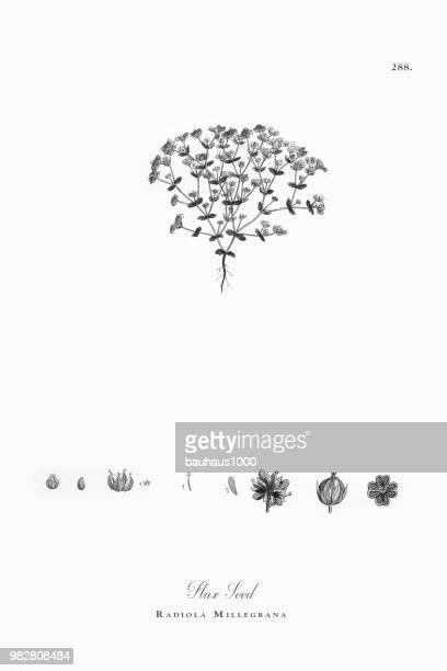 ilustraciones, imágenes clip art, dibujos animados e iconos de stock de semilla de lino, radiola millegrana, victoriano ilustración botánica, 1863 - flor silvestre