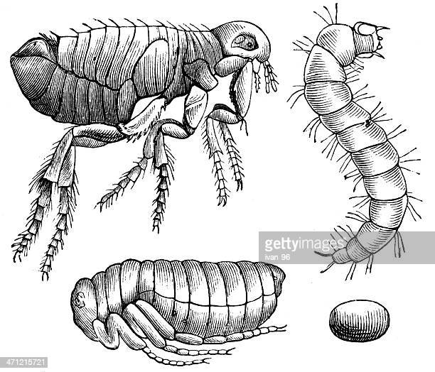 flea - life cycle stock illustrations