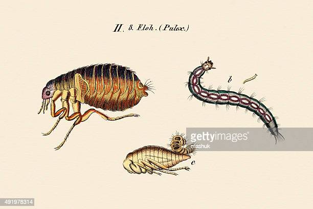 fleas, 19 century science illustration - life cycle stock illustrations
