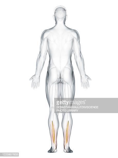 flexor hallucis muscle, illustration - human back stock illustrations