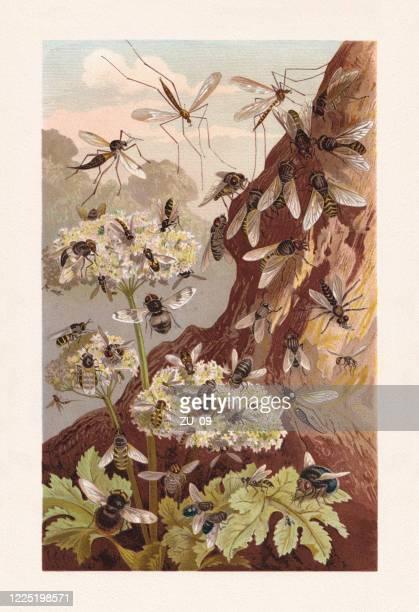 ilustraciones, imágenes clip art, dibujos animados e iconos de stock de moscas (brachycera), cromolitografía, publicada en 1884 - biodiversidad