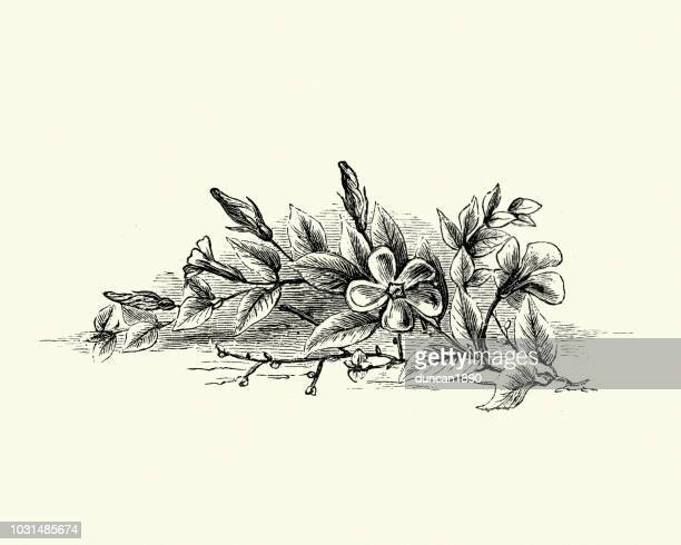Flora, Wild Flowers, Vinca, Periwinkle