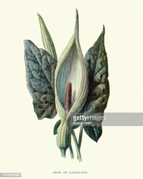 Flora, flores silvestres, Arum maculatum cuco-pinta
