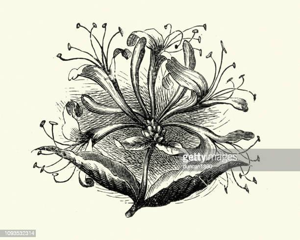 flora, wildflowers, honeysuckle - arrowwood stock illustrations, clip art, cartoons, & icons