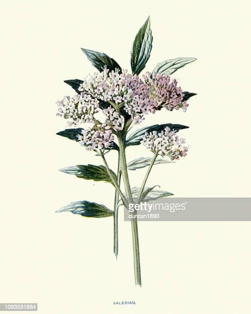 flora, wildflowers, valerian - valerian plant stock illustrations