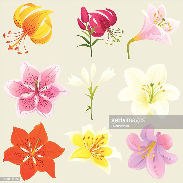 floral design elements (colourful lilies) - easter lily stock illustrations