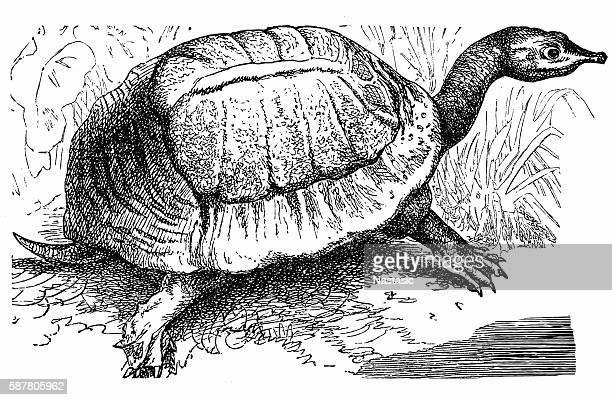 florida softshell turtle - apalone ferox - encyclopaedia stock illustrations, clip art, cartoons, & icons