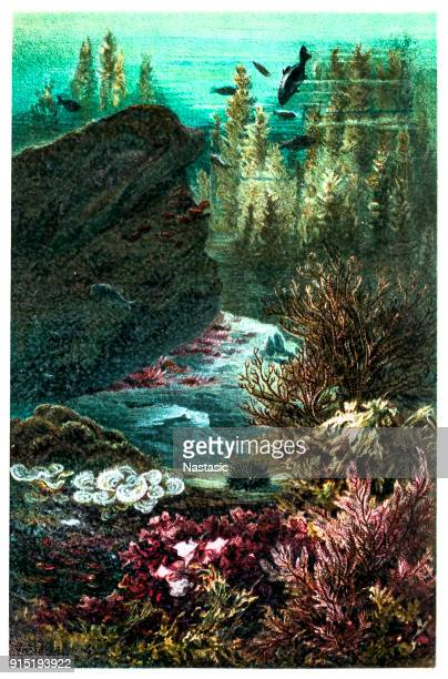 florideae in the adriatic sea. - at the bottom of stock illustrations