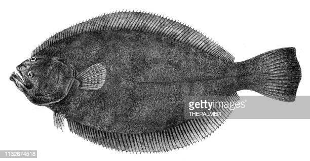 Flounder fish engraving 1842