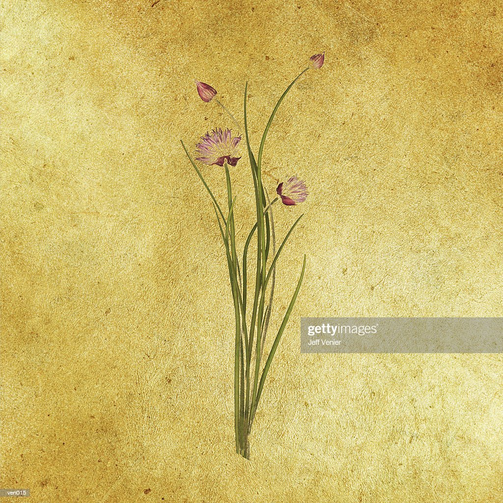 Flowering Chives : Stock Illustration