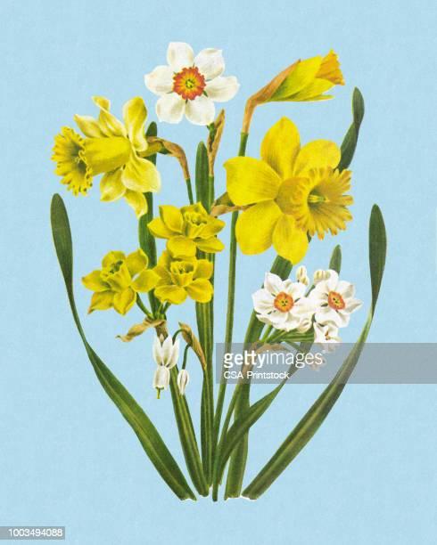 flowers - daffodil stock illustrations