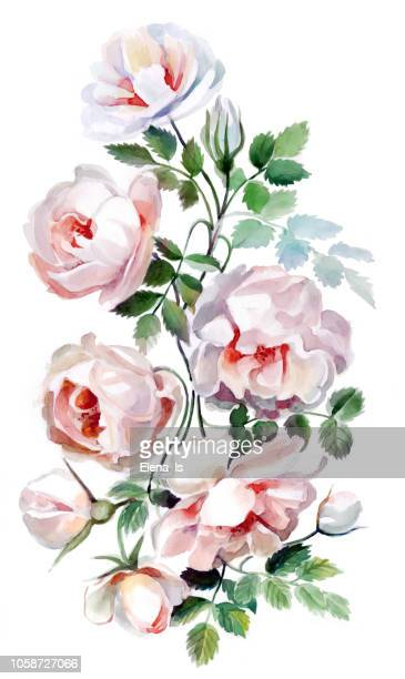 flowers of a rose on a white background. watercolor - rose colored stock illustrations