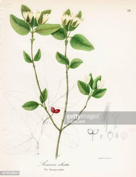 fly honeysuckle botanical engraving 1843 - arrowwood stock illustrations, clip art, cartoons, & icons