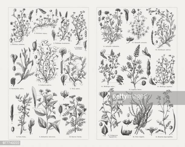 fodder plants, wood engravings, published in 1897 - broad bean stock illustrations, clip art, cartoons, & icons