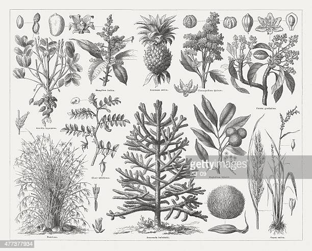 Food plants, wood engraving, published in 1877