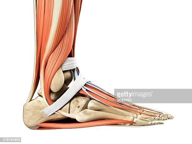 ilustrações, clipart, desenhos animados e ícones de foot anatomy, artwork - articulação humana termo anatômico