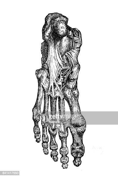 illustrations, cliparts, dessins animés et icônes de foot bones and ligaments - partie du corps humain