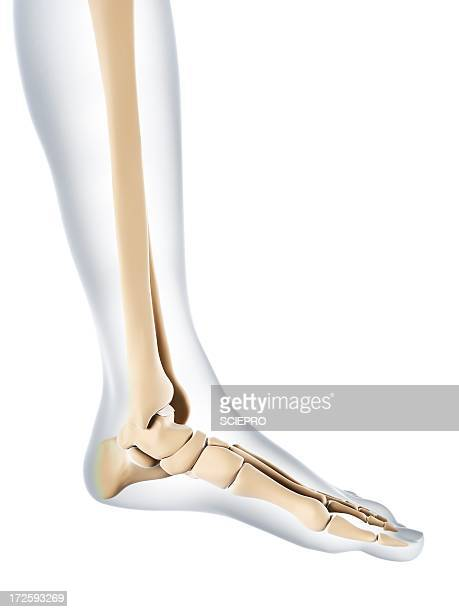 Foot bones, artwork