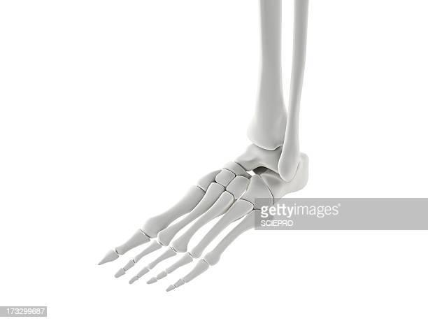 foot bones, artwork - foot bone stock illustrations