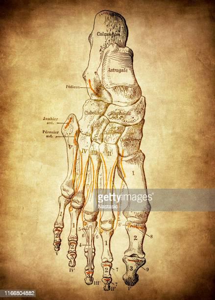 foot bones - foot bone stock illustrations