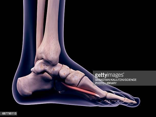 ilustrações, clipart, desenhos animados e ícones de foot muscle, illustration - perna humana
