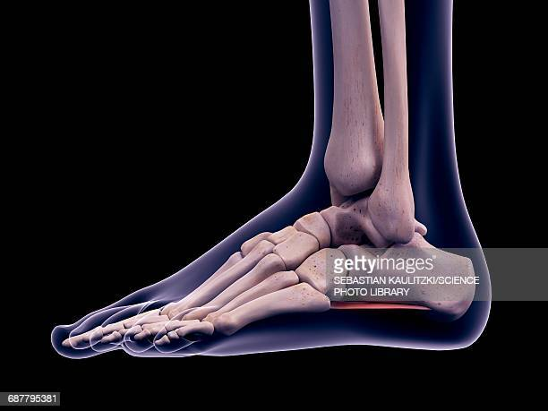 foot muscle, illustration - joint body part stock illustrations, clip art, cartoons, & icons