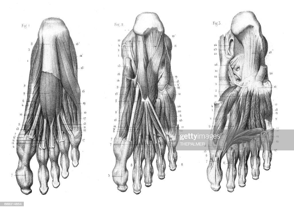 Foot Plantar Region Anatomy Engraving 1866 Stock Illustration ...