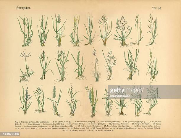 Grasses 誇るナイトマーケット、ビクトリア様式の植物イラストレーション