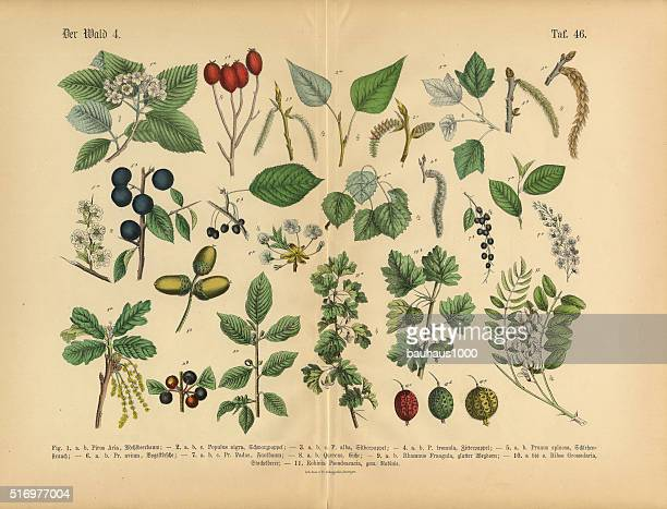 Forest and Fruit Trees and Plants, Victorian Botanical Illustration